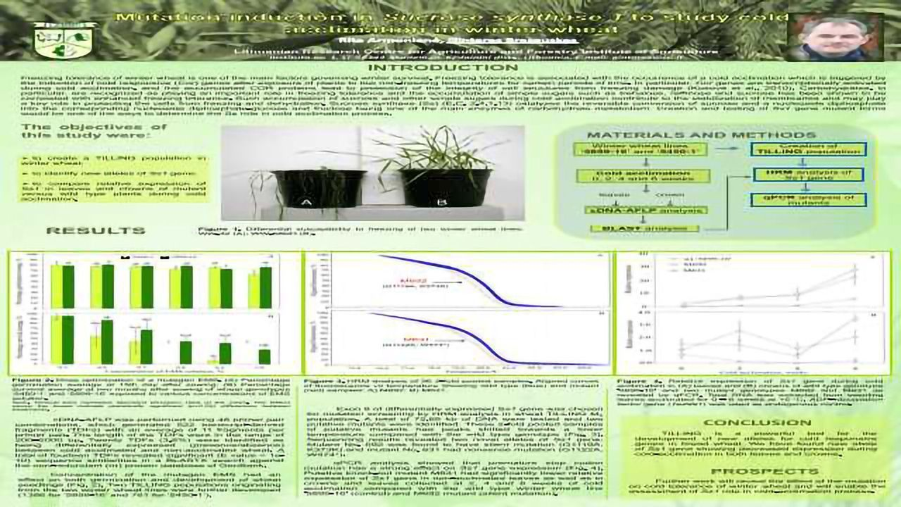 Mutation Induction in Sucrose Synthase 1 to Study Cold Acclimation in Winter Wheat