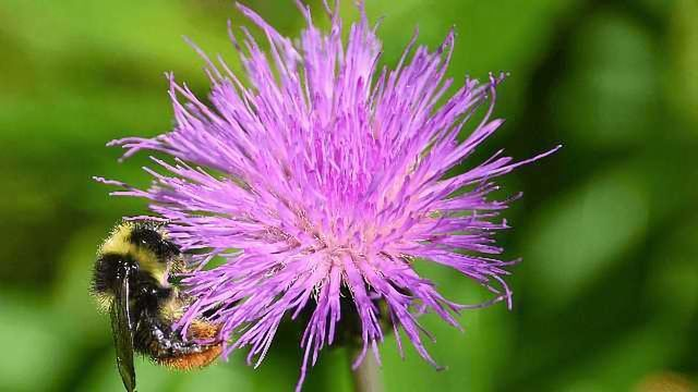 Rusty Patched Bumble Bee Is Listed as Endangered