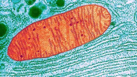 Roots of Related Genetic Diseases Found in Cell Powerhouses