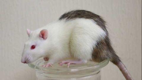 Interspecies Transplantation to Reverse Diabetes