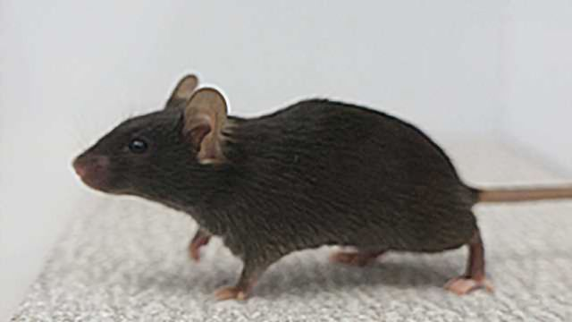 """Switching off brain circuit renders mice """"out of touch"""" with environment"""