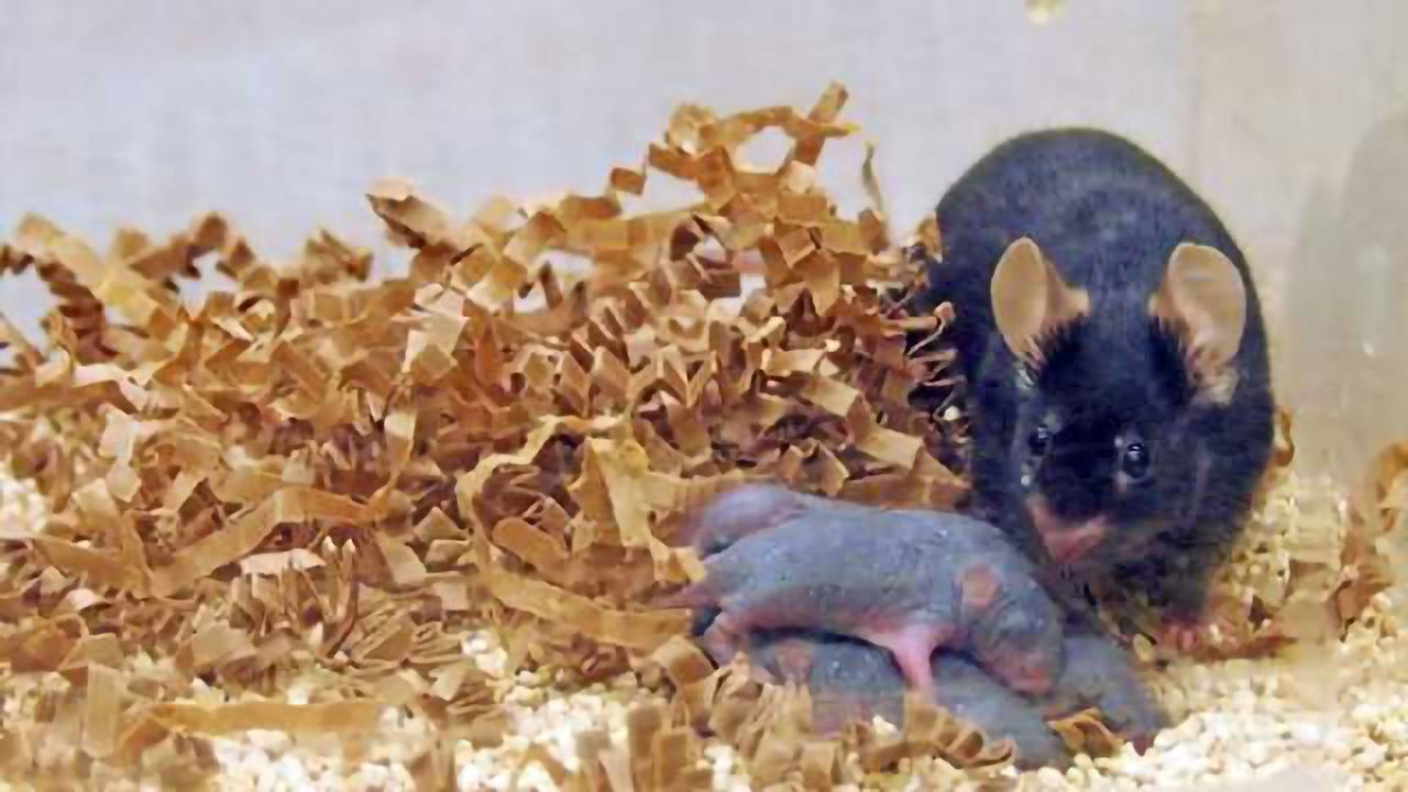 Animal study finds males may contribute to offspring's mental development before pregnancy