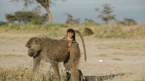 Rough childhoods have ripple effects for baboons