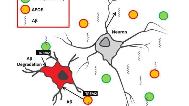 The interplay between innate immunity & genetic risk factors in Alzheimer's disease