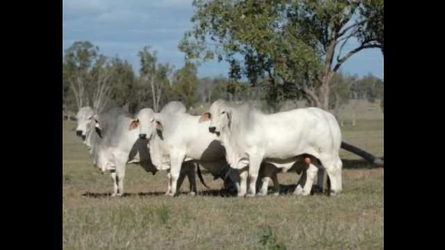 Unlocking the Genetic Secrets of Legendary Bulls