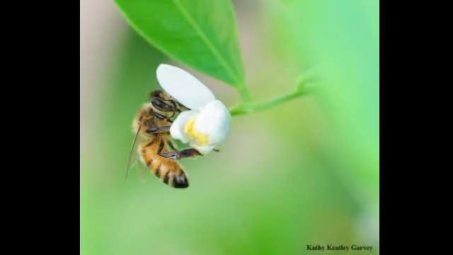 Where Do Honey Bees Come From?