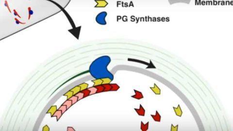Molecular 'Bricklayers' Build New Cell Walls