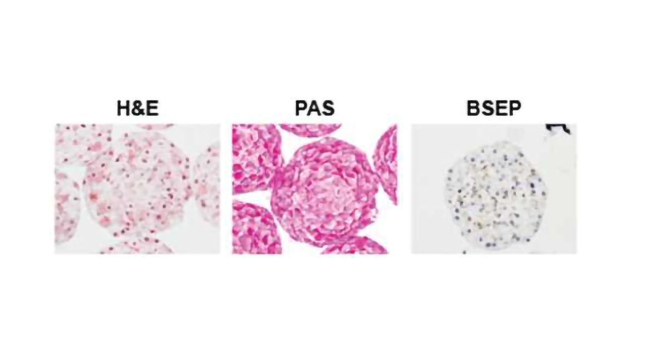 InSphero Launches 3D InSight™ Monkey Liver Microtissues