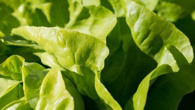 Listeria Can Hide Inside Romaine Lettuce Tissue