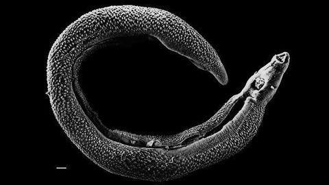 A New Model for Understanding Mammalian Parasites