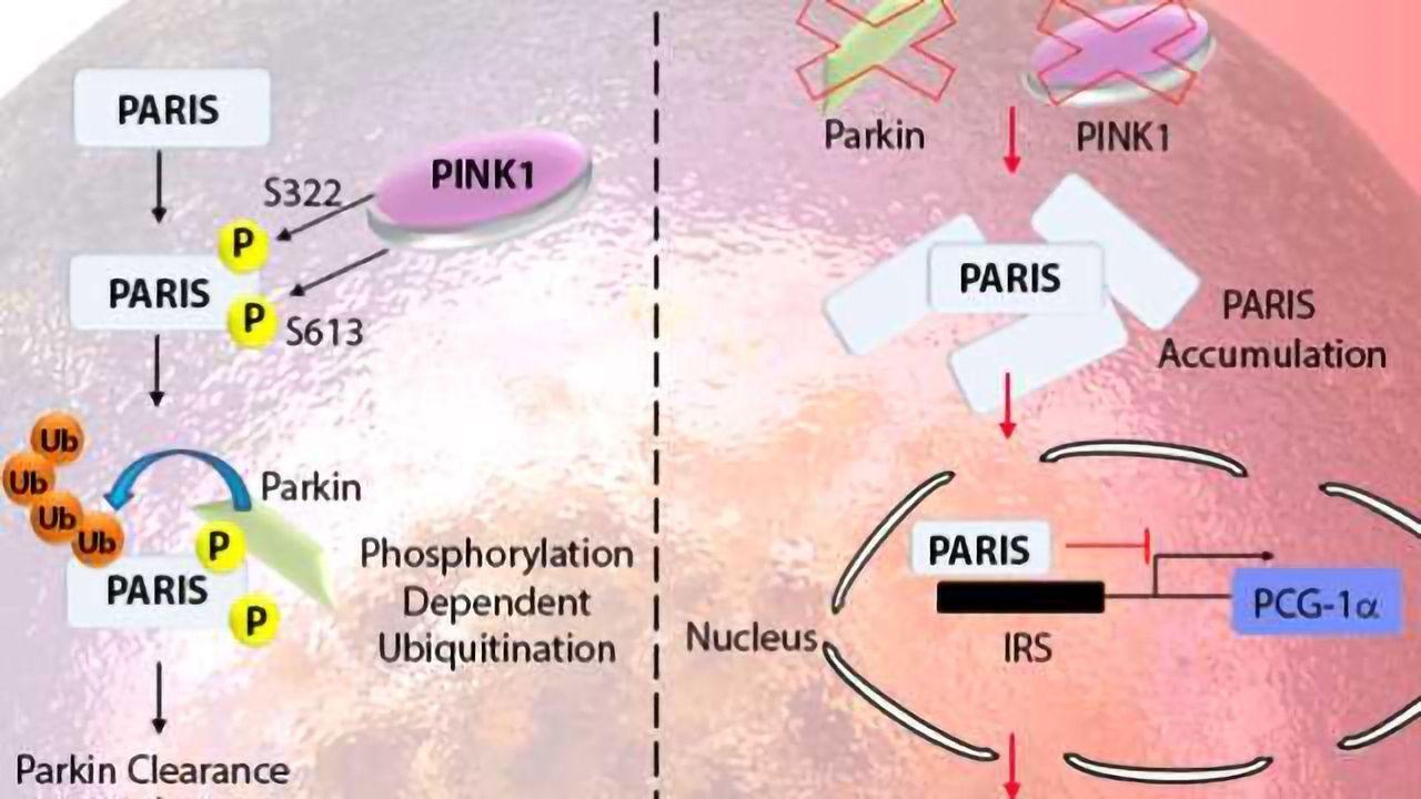 Pathways in Parkinson's Disease