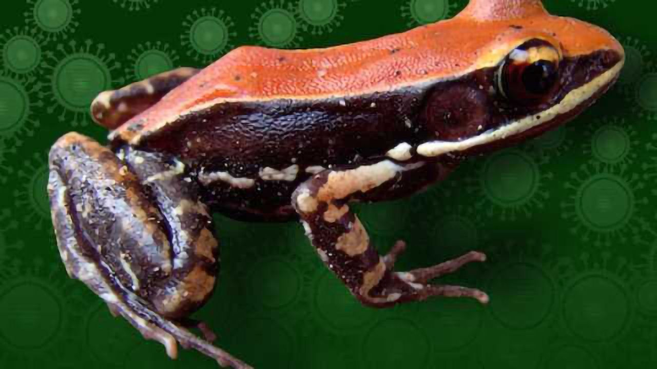 Frog Slime Peptide as a Universal Vaccine?