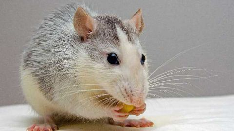 Animal Model For Rare Brain Disease H-ABC Found