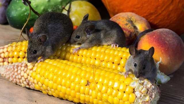 Immunological Differences Between Lab and Wild Mice Studied