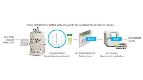 NGC Chromatography System and TGX Stain-Free Gels Workflow