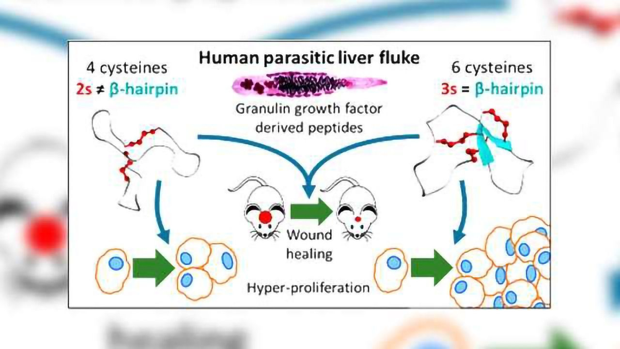Liver Fluke Granulin Structural Fold Provides Wound Healing Opportunity