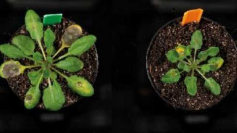 Jasmonic Acid Discovery has the Potential to Improve Crop Resistance