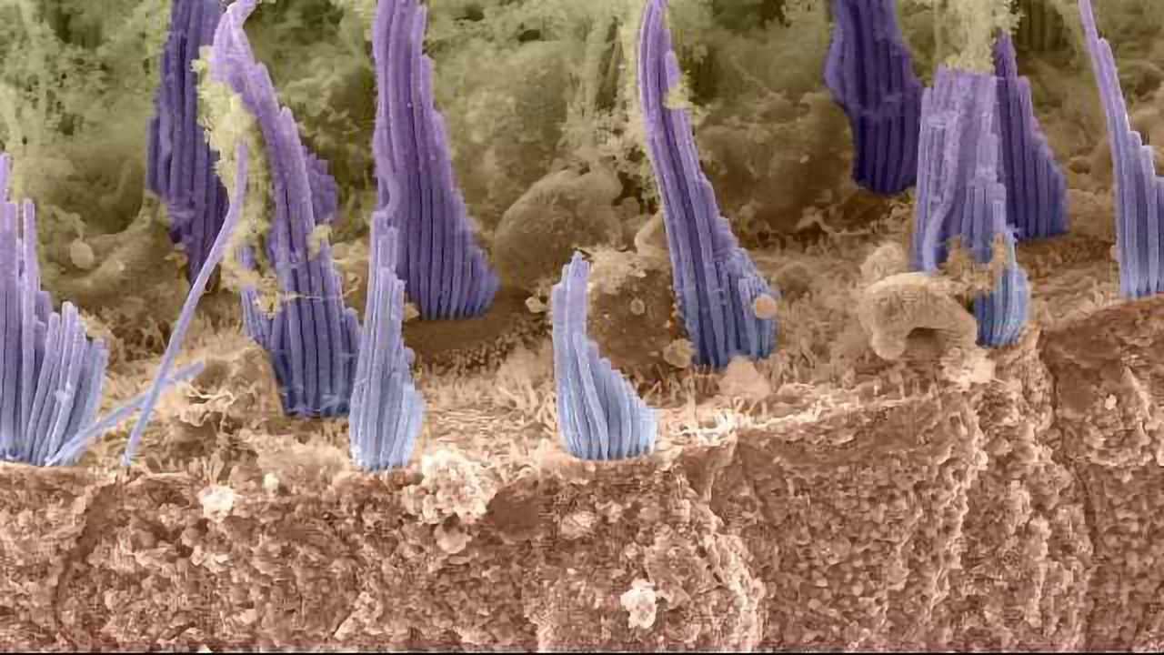 Scanning EM Image of Hair Cells in the Utricle