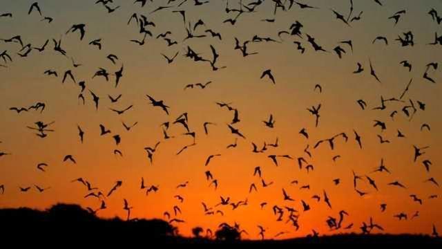 Bats Identified as Major Global Coronavirus Resevoir