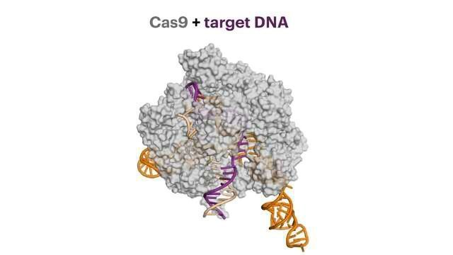Anti-CRISPR Proteins Decrease Damaging Off-target Effects