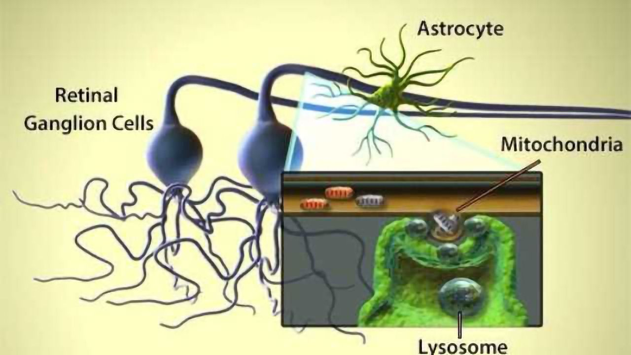 Mitochondria Ejection and Astrocyte Cleanup