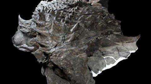 Huge, Armoured Dinosaur Found in Incredible Condition