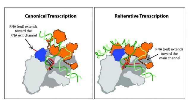 Novel Form of Transcription Captured by X-Ray Crystallography