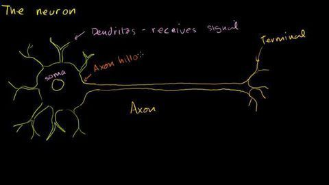 The Anatomy of a Neuron