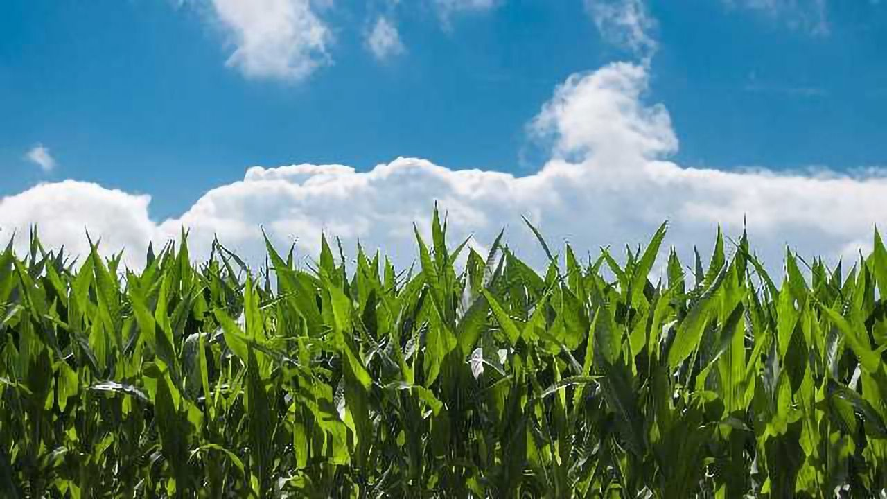Genetically Boosting the Nutritional Value of Corn Could Benefit Millions