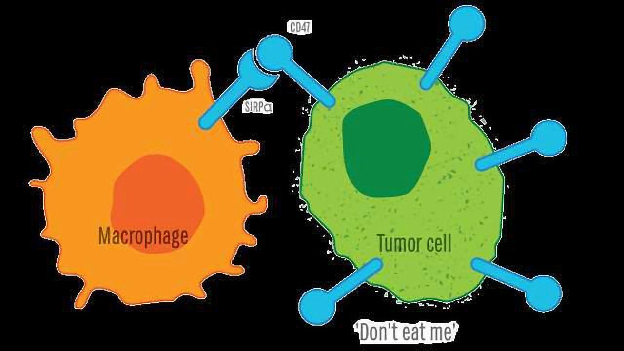 CD47: Regulation of cellular phagocytosis in cancer, inflammation & neurobiology