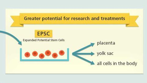 Expanded Potential Stem Cells Created