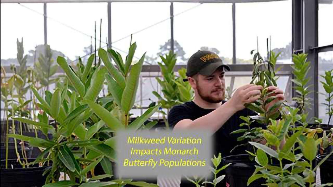 Milkweed Varies in Nutrition and Nice, Tasty Cardenolides