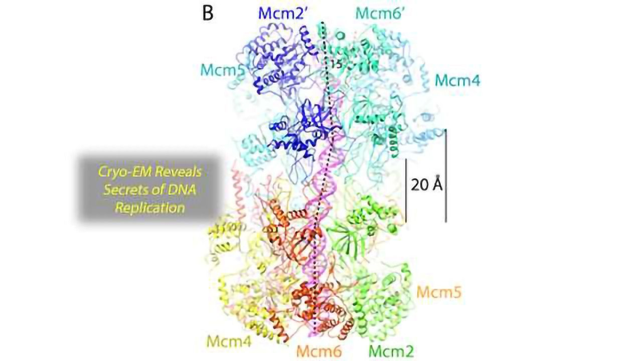 Cryo-EM Imaging Suggests How the Double Helix Separates During Replication