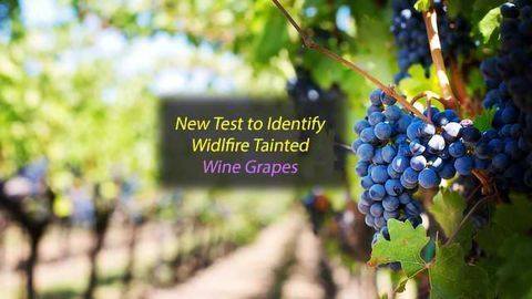 Wildfire Tainted Wine Grapes Identified by New Rapid Test