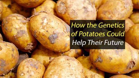 Examining Potatoes' Past Could Improve Spuds of the Future