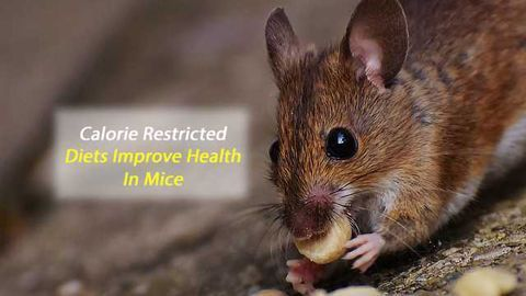 Less Fat, More Hair and Younger Skin: Study in Mice Shows Benefits From Calorie-Restricted Diet