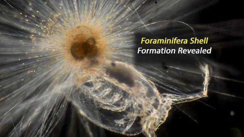 New Perspective on Plankton Shell Formation