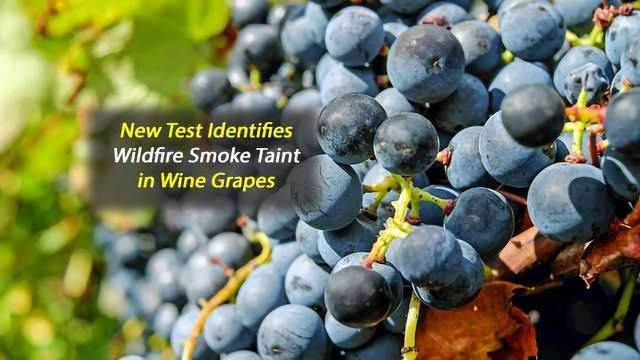 Rapid Test Identifies Wildfire Taint in Wine Grapes