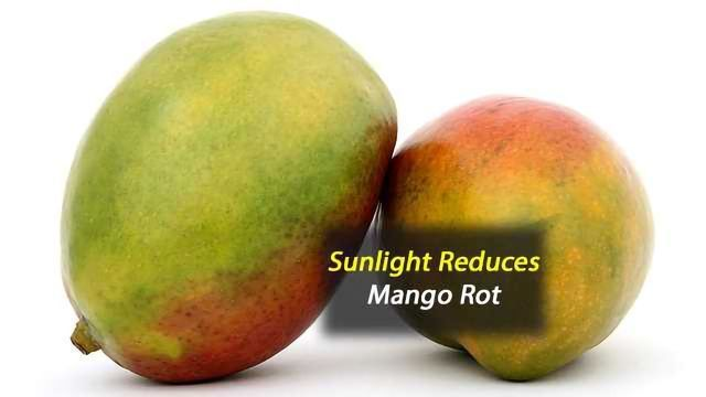 Study 'Sheds Light' on Sun's Role in Mitigating Fungal Disease of Mangoes