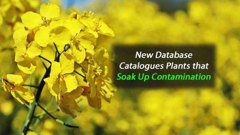 New Database Catalogues Plants that Soak Up Contamination