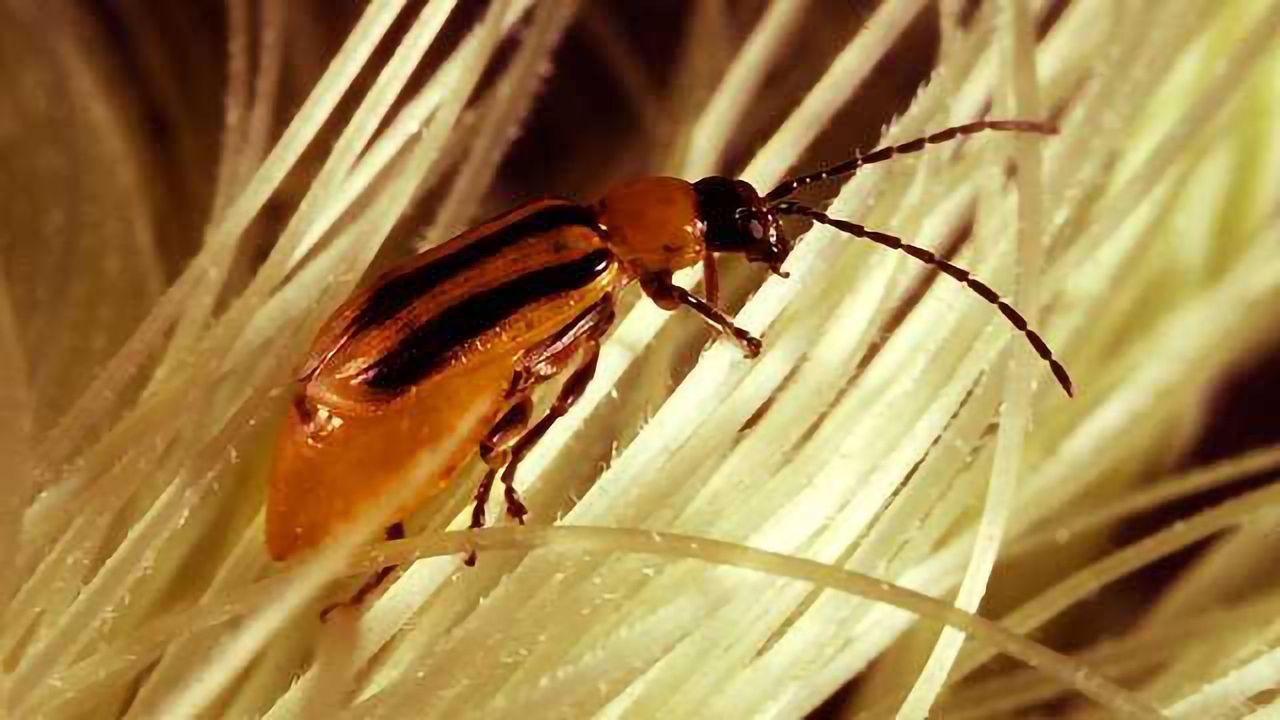 Maize Pest Exploits Plant Defense Compounds to Protect Itself