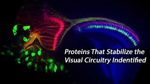 Two Proteins Dictate Visual System Axon Stabilization