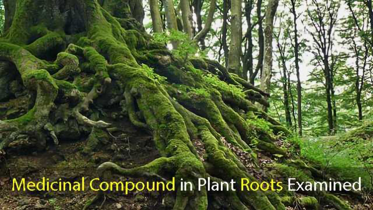 Medicinal Compound in Plant Roots Examined