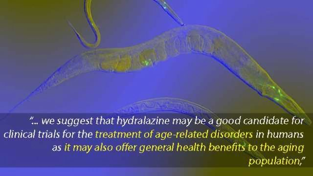 Drug for High Blood Pressure Extends Life Span in Roundworms