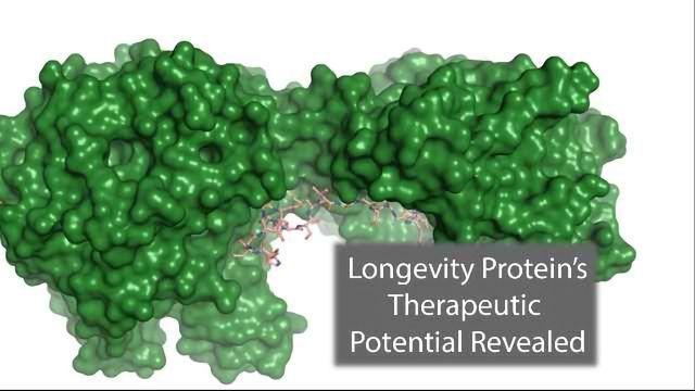 Longevity Protein Could Help Treat Diabetes