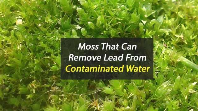 Moss that Removes Lead Contamination From Water