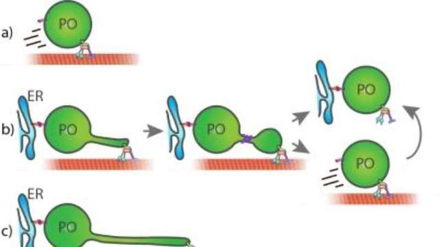 New Insights into Membrane Dynamics in Human Cells Revealed