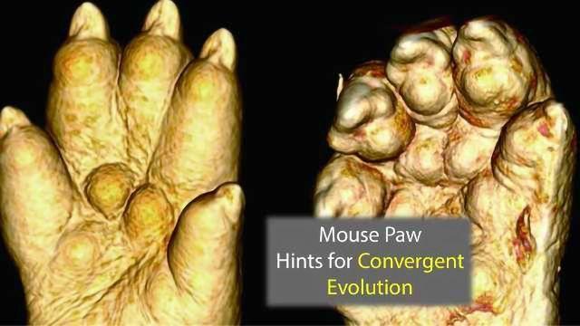 Hammer Toe Mice Genes Highlight Evolutionary Adaptations