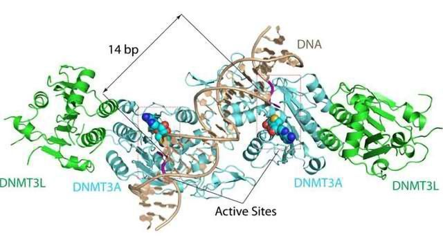 Crystal Structure Solved for an Enzyme That Plays a Key Role in DNA Methylation