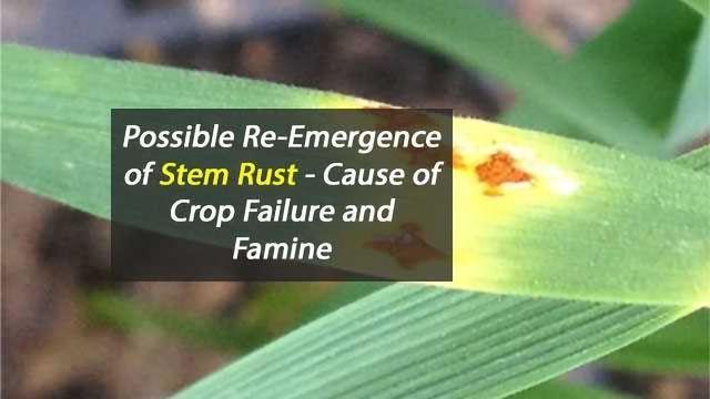 Forgotten Crop Pathogen Re-Emerges After 60 Years?